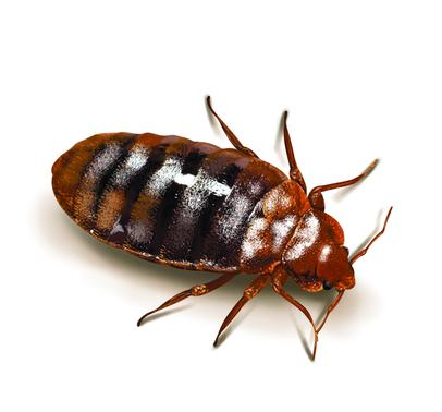 Bed Bug Control & Removal
