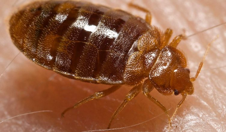 Bed Bug control in & near Riverside and Moreno valley, CA