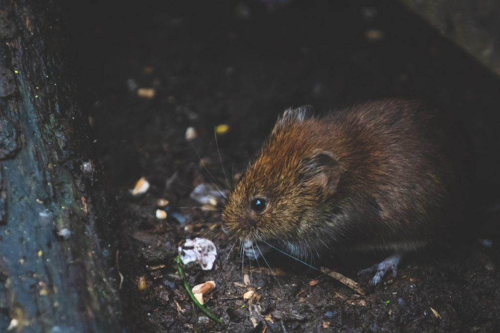 Rat Removal and Control in & near Moreno Valley, CA
