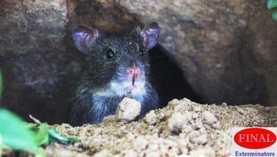 Rodent infestation