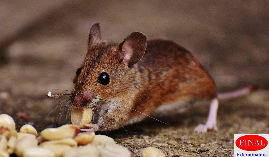 Rodents Removal